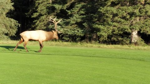 BC Golf Courses With (Guaranteed) Wildlife Sightseeing