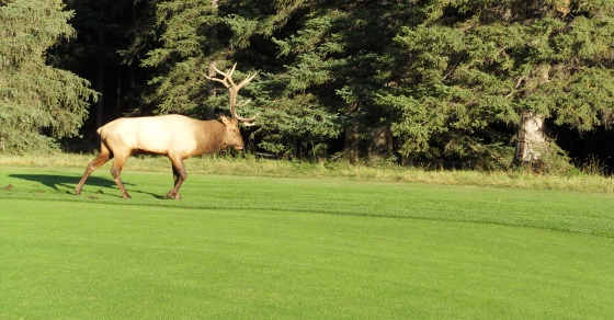 Canada golf packages, Canada golf vacations with wildlife